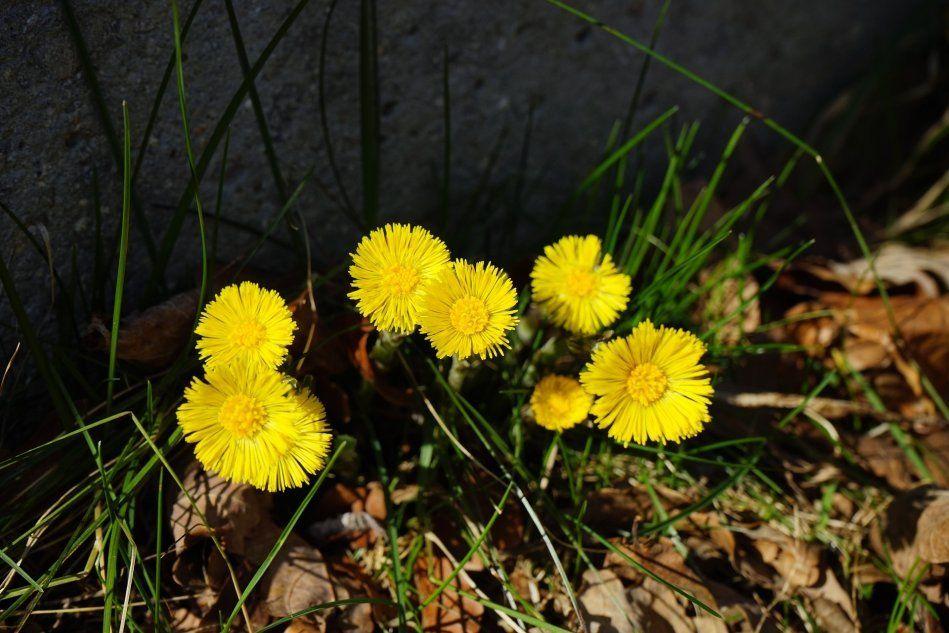 От любой беды - цветы мать-и-мачехи